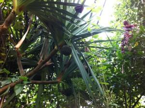 Schraubenbaum im Botanischen Garten der Christian-Albrechts-Universität zu Kiel