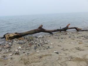 Baumstamm am Strand in Dänisch-Nienhof