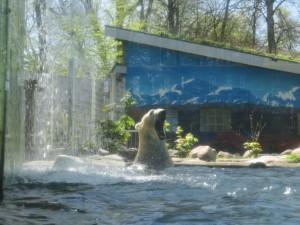 Eisbär Kap Tierpark Neumünster