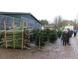 Weihnachtsbäume Gut Augustenhof - frisch geschlagen vor der Gutsscheune