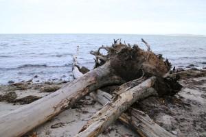 Ostsee Schleswig-Holstein - umgestürzter Baum an der Steilküste Weissenhaus