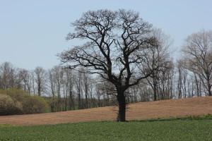 Feld und Baum in Rathmannsdorf