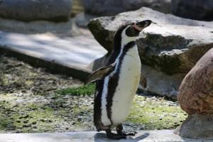 Humboldt-Pinguin im Tierpark Neumünster