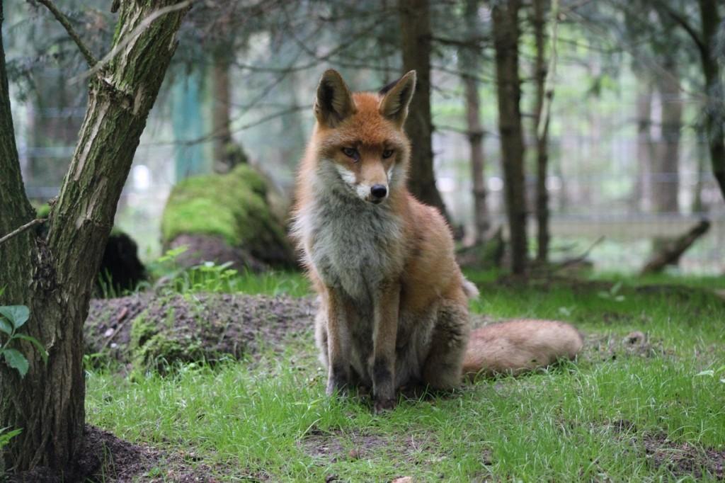 Fuchs im Wildpark Eekholt