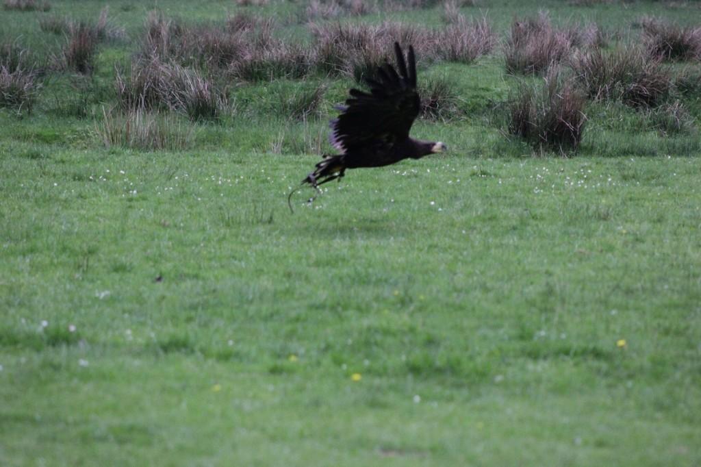 Greifvogel im Wildpark Eekholt