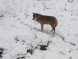 Wolf im Breslauer Zoo im WInter