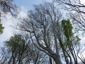 Baumkronen im Gespensterwald