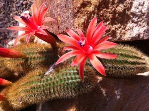Kaktus im Botanischen Garten der Christian-Albrechts-Universität zu Kiel