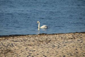 Falckensteiner Strand Schwan