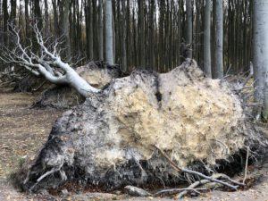 Entwurzelte Bäume in Gespensterwald Nienhagen