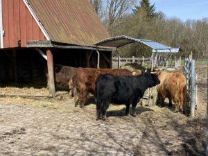 Tiergehege Suchsdorf Hochlandrinder