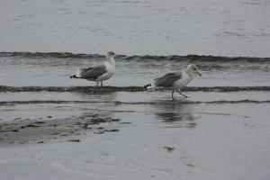 Möwen am Sehlendorfer Strand an der Hohwachter Bucht