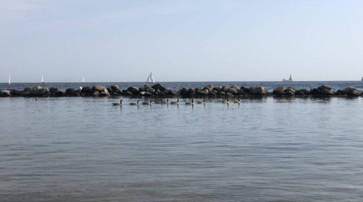Kanadagänse am Strand in Schilksee