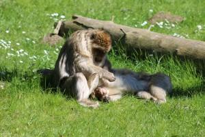 Berberaffen im Tierpark Neumünster