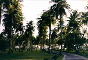 Tobago Palmen am Straßenrand