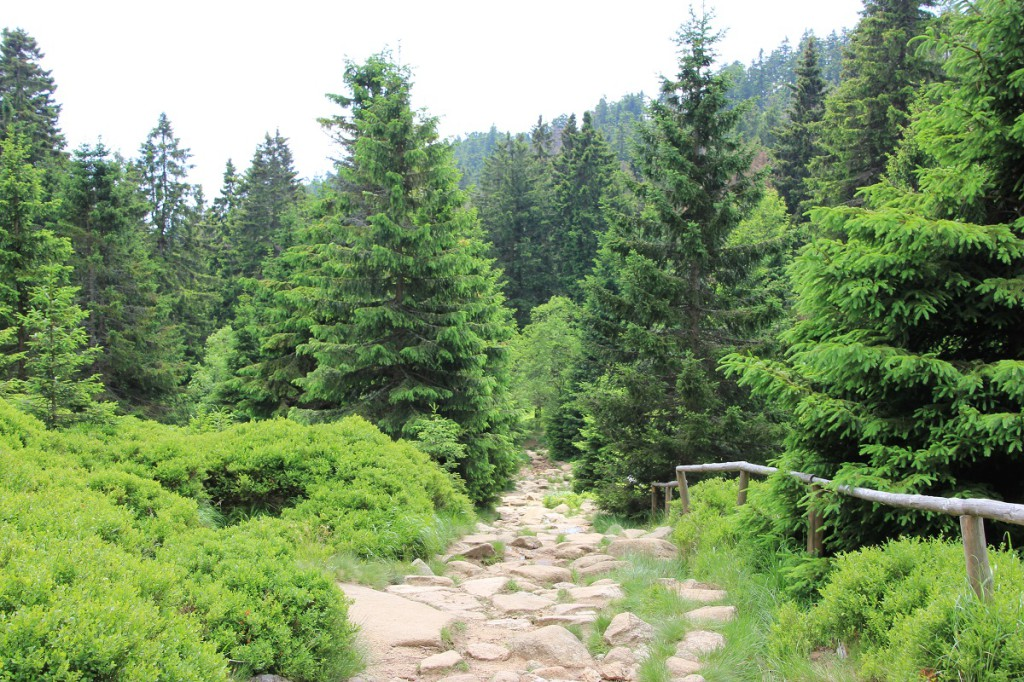 Waldweg beim Abstieg vom Brocken nach Schierke