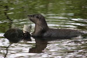 Fischotter im Wildpark Eekholt
