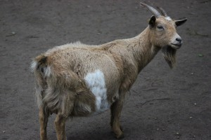Ziege im Wildpark Eekholt