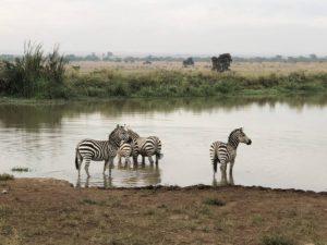 Zebras Nairobi National Park