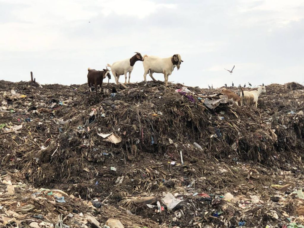 Ziegen Kiteezi Landfill Mülldeponie Kampala in Uganda